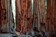 redwood - Google Search