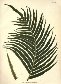 """Printable illustration from the public domain book """"Album of Indian ferns : reproduced in chromo-lithography from original water-colour drawings (1887)."""""""