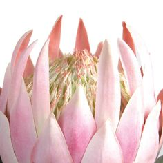 Fill your home with colour and life all year round with our maintenance-free Rogue Protea King Stem. These wonderfully life-like blooms will bring a spring feeling to your living space. Protea King Stem Size W x D x H in Pink Protea Art, Protea Flower, Artificial Flowers And Plants, All Flowers, King Protea, Freedom Furniture, Pink Plastic, Pink Walls, Botanical Art