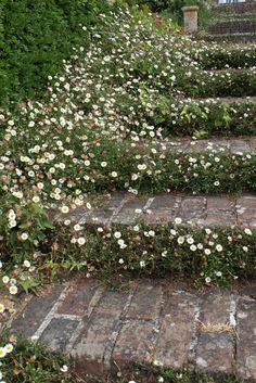 Mexican fleabane in brick steps - Garden Decor Pergola Garden, Garden Shrubs, Shade Garden, Garden Landscaping, Backyard, Back Gardens, Small Gardens, Outdoor Gardens, Indoor Gardening
