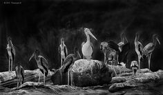 A pelican among young painted storks seems to muse: As I stand here I do feel strange, trying to blend in, trying to mingle, but then I do stand among friends and this does feel like home. Maybe that's why I feel on top of the world. Black And White Birds, Storks, Top Of The World, Stand By Me, Family Portraits, Muse, Friends, Painting, Art