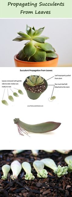 how to propagate succulents from leaves Complete guide to leaf propagation