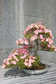 flower bonsai tree | Flowering Bonsai Tree Royalty Free Stock Images - Image: 5580269