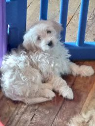 Litter Of 4 Goldendoodle Puppies For Sale In West Warwick Ri Adn