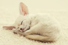 fennec fox - i want one. Except Zu is probably kinda like one
