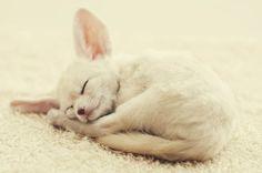 fennec fox - i want one