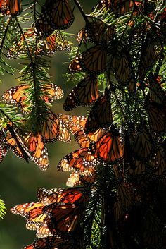 MONARCH BUTTERFLY Monarchs in Their Millions (Mexico). Canopies of golden-orange butterflies cover the forests and hillsides in the Reserva Mariposa Monarca (Monarch Butterfly Reserve), perhaps Mexico's most astonishing yearly natural phenomenon. Orange Butterfly, Monarch Butterfly, Beautiful Creatures, Animals Beautiful, Mundo Animal, Natural Phenomena, Giza, Beautiful Butterflies, Amazing Nature
