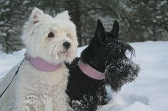 westie with scottie friend