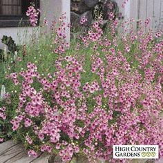 Pink Diascia integerrima 'Coral Canyon' - zones 9/11