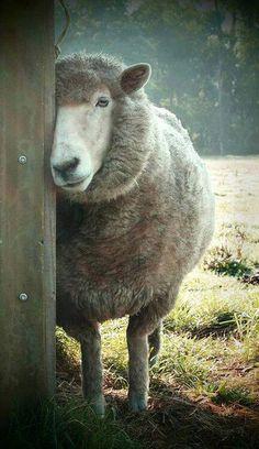 How a sheep looks coy! Cute Baby Animals, Farm Animals, Animals And Pets, Sheep Paintings, Animal Paintings, Beautiful Creatures, Animals Beautiful, Wooly Bully, Sheep Art