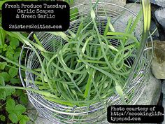Not sure of what to do with garlic scapes or green garlic in your CSA?  Here are 15 recipes for them!     #csa #farmersmarket #summerproduce #garlicscapes #greengarlic