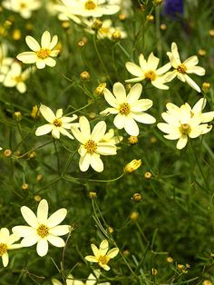 Coreopsis: Hot, dry weather won't stop Coreopsis from flowering all summer long. This American native is one of the most reliable perennials you can grow. The plants produce large quantities of yellow, orange, pink, white, red, or bicolored blooms.
