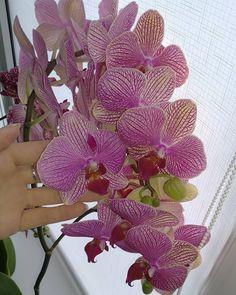 Доброе утро! 😘 Обожаю цветения гроздьями 🥰🌺 Моя #орхидея #фаленопсис #немо #орхидеи #моиорхидеи #цветы #моицветы #orchids #orchid… Flowers, Plants, Plant, Royal Icing Flowers, Flower, Florals, Floral, Planets, Blossoms