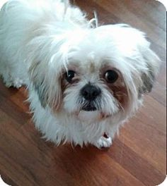Providence, RI - Maltese Mix. Meet Brodie in RI a Dog for Adoption.