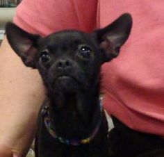 Radar is an adoptable Chihuahua Dog in Buffalo, NY. Radar is the most adorable, tiny chihuahua you could ever meet. He's about 1- 1/2 yrs old and very small; probably under 5 lbs.  He came to us a str...