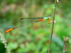 Dragonfly photo: Dragonfly This photo was uploaded by sivaoncall