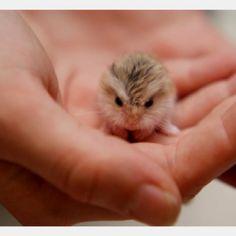 Adorable baby dwarf hamster!!