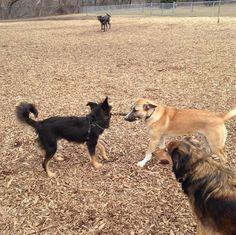 Tug o' war at Hill Street Park Dog Park - Hamilton, ON - Angus Off-Leash #dogs #puppies #cutedogs #dogparks #hamilton #ontario #angusoffleash