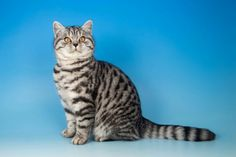 Xavia Roger daughter - a British shorthair silver spotted British Shorthair, Cats And Kittens, Black Silver, Daughter, Animals, Animales, Animaux, Animal, Animais