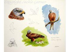Red Kite Studies by Jackie Garner