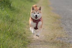 Happy Shibas levitate!--SO TRUE! OUR TWO DO THIS WITH SNOW & MARSHY LANDS!