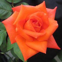 Wildfire™ Hybrid Tea Rose