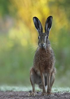 Lovely Brown Hare waiting to go. Hare Pictures, Animal Pictures, Beautiful Creatures, Animals Beautiful, Hare Illustration, Funny Animals, Cute Animals, Some Bunny Loves You, Jack Rabbit