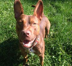 Frodo is a super smart, super treat motivated, & super quick learner! He's a 2 yr old pit mix who is neutered, has all his shots,& is heartworm neg. He has been through a basic obedience class & learned sit,&demonstrates it quite well if you show him a treat. He loves to play with other dogs and loves people. He's been to my home and acts like the perfect gentlemen inside. He will chase cats- so he needs a cat free home. His adoption fee is $75. He's only about 45 lbs so he isn't too big…