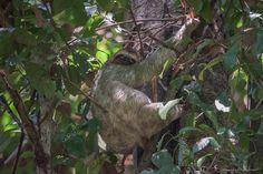 bradipo al parco manuel antonio