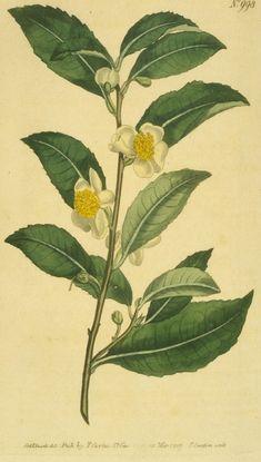 Bohea Tea tree - Чай — Википедия