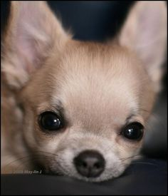 .peekin' at you. Cute Chihuahua, Chihuahua Puppies, Teacup Chihuahua, Cute Puppies, Cute Dogs, Dogs And Puppies, Doggies, Teacup Dogs, Cavapoo Puppies