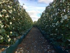 A corridor of fragrance. If only we could post the smell of these White Fairy Magnolia Living Walls™ Valley Nursery, Corridor, Nurseries, Hedges, Magnolia, Garden Design, Sidewalk, Fragrance, Fairy