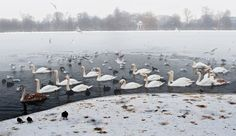 Swan Lake. Kensington Garden, London