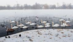Swan Lake. Kensington Garden, London