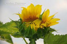 Sunflower half way there