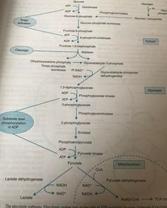 Glycolysis in 'simple' terms.... 1 molecule of glucose to 3 molecules of pyruvate and other 'stuff'
