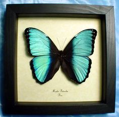 Morpho patroclus fagardi real Blue Banded butterfly butterflies from Peru framed in an Archival Conservation Display