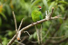 Norfolk Island green parrot