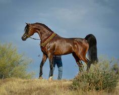Bay Arabian Stallion: *Pogrom