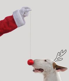 Bull Terriers Jimmy The Bull Terrier Chien Bull Terrier, Pitbull Terrier, Jimmy Choo, I Love Dogs, Cute Dogs, English Bull Terriers, Merry Christmas Everyone, Christmas Animals, Christmas Dog