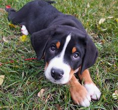 Greater Swiss Mountain Dog. The Cuteness is almost unbearable.