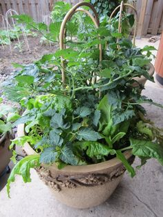 Grow your veggies in pots! #VegetablesinPots #ContainerGardeningWithVegetables