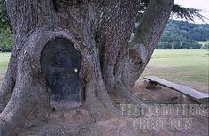 'Pauls tree' Hampton Court, Herefordshire