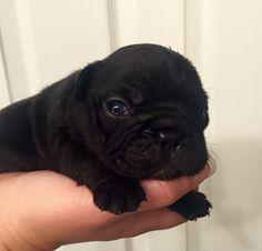 Newborn French bulldog puppy.