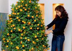 Vietnamese Kumquat for Tet
