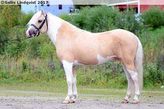 palomino splash white (?; most likely) - Gotland Pony stallion Zidane Zojvide