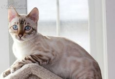 Wildrose Bengals – Certified Reputable Breeder | Bengal Cats Bengals Illustrated Directory Lynx, Cats And Kittens, Eye Colors, Bengal Cats, Cute, Seal, Big, Unique, Animals