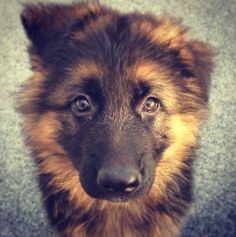 GSD Puppy Puppies And Kitties, Gsd Puppies, Cute Cats And Dogs, Big Dogs, Large Dogs, I Love Dogs, Baby German Shepherds, Long Haired German Shepherd, German Shepherd Puppies