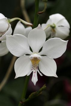 Virgin-orchid: Caularthron bicornutum - This medium-sized, hot to warm-growing, epiphytic or occasional lithophytic species is often found close to the sea on rocks or cliffs or rivers in Colombia, Venezuela, Guyana, French  Guiana, Surinam, , Brazil and Trinidad and Tobago.
