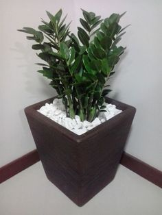 Plantas Zamioculcas para Decorar a Casa House Plants Decor, Plant Decor, Plantas Indoor, Garden Deco, Office Plants, Interior Plants, Garden Crafts, Cool Plants, Outdoor Plants